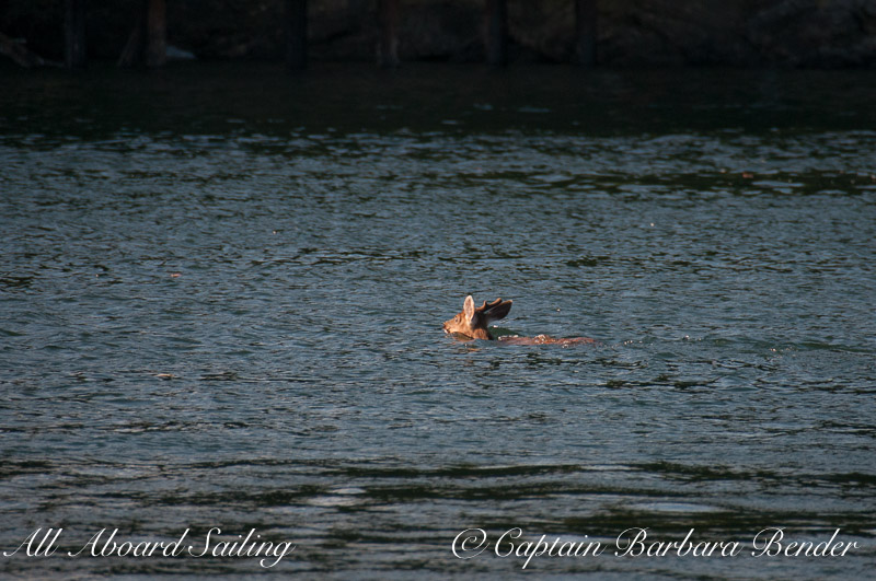 Deer swims to Orcas island