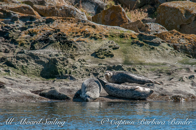 Harbor Seals warming