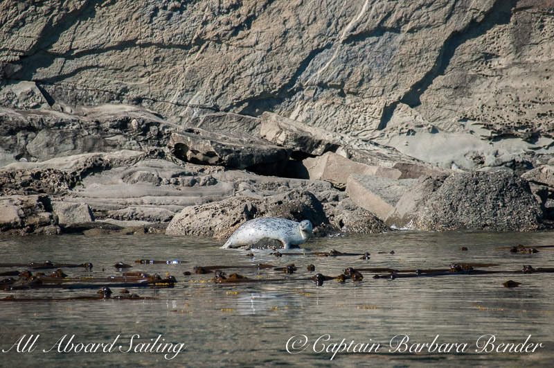 Harbor Seal inshore of Kelp forest