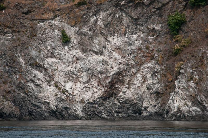 Cormorant colony of Kellet Bluff