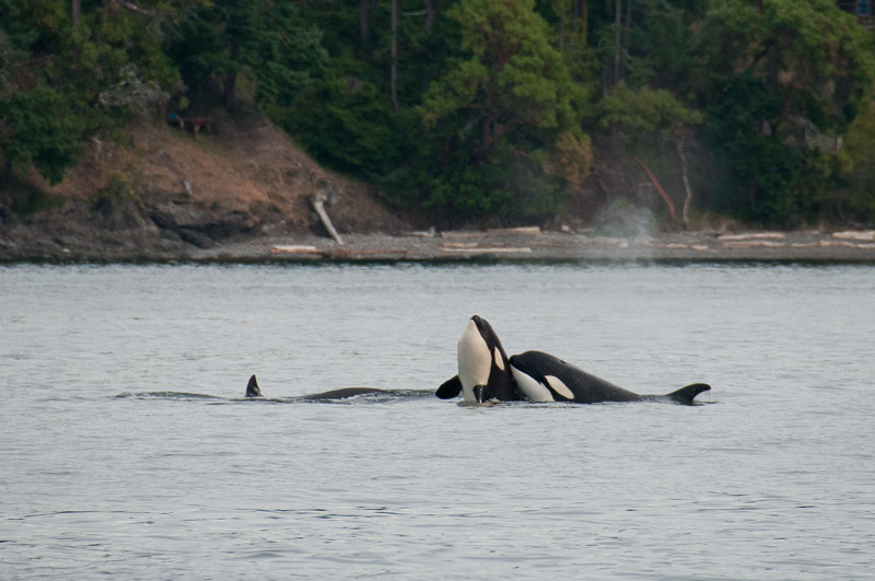 Transient Killer whales T73A2, T73A3, and T46F goofing around