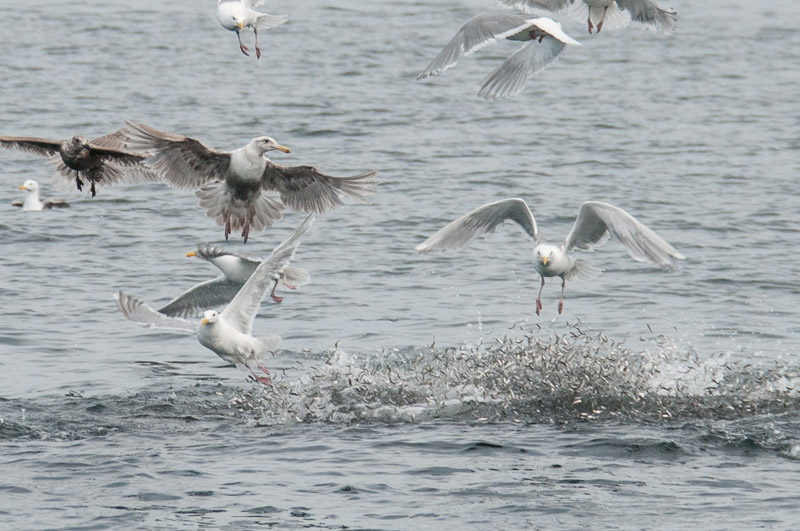close up of the bait fish leaping away from the orcas