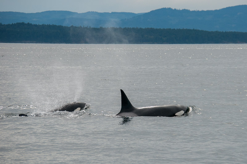 Transient killer whales T73A and T73A2
