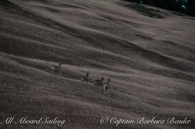 Fallow Deer at twilight