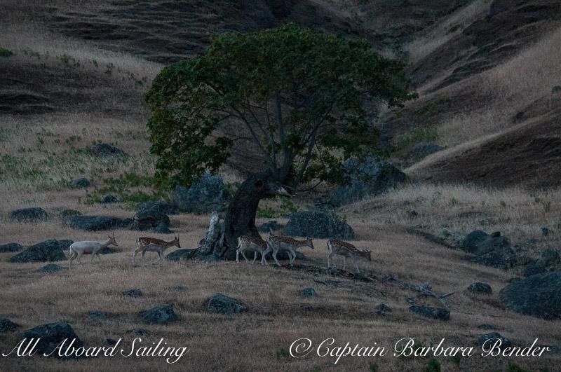 Fallow Deer under Garry Oak at twilight