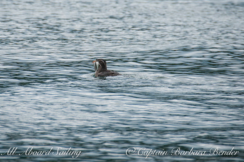 Rhinoceros Auklet with dinner to take home