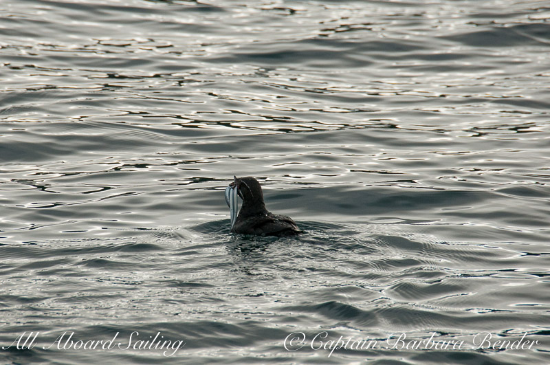 Rhinoceros Auklet with fish and chips to go