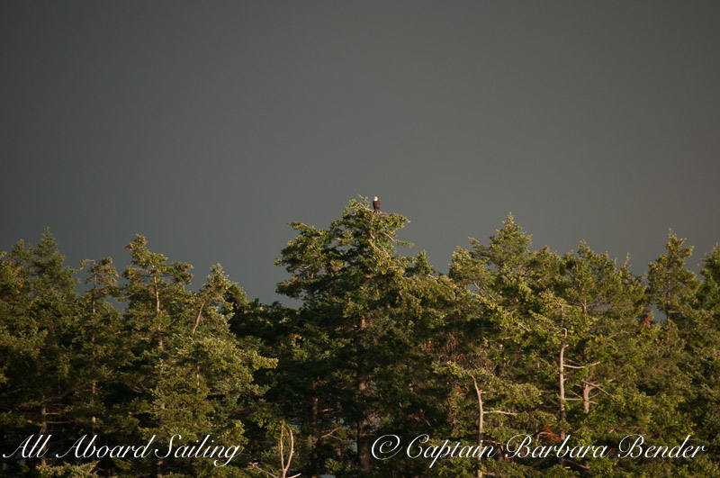 Bald Eagle against dark clouds