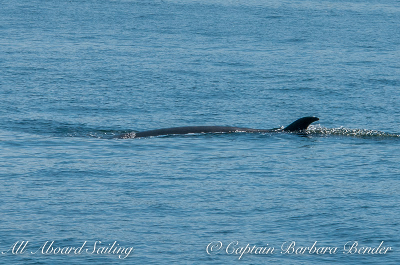 Minke Whale surfacing between Flattop, Jones, and Spieden Island