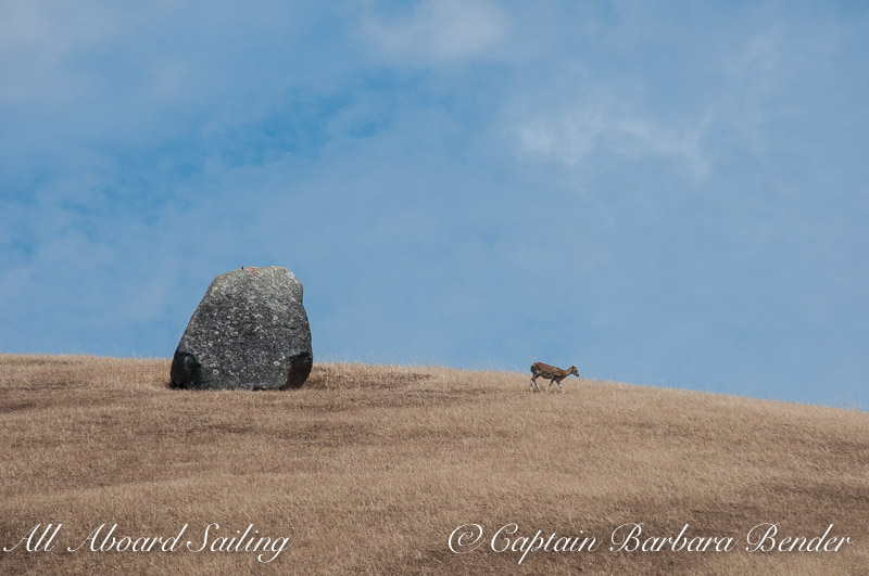 Glacial erratic with Mouflon Sheep