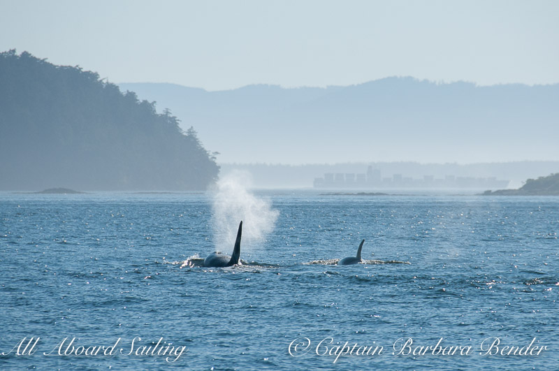 Transients Orcas T123 and T123A