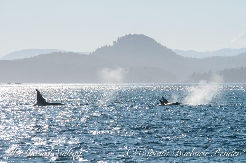 Transients Orcas