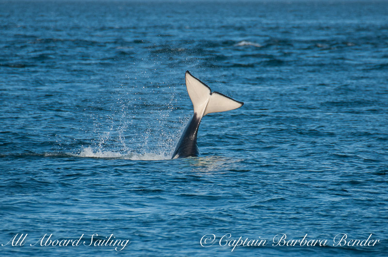 Transient Orca Tail lob