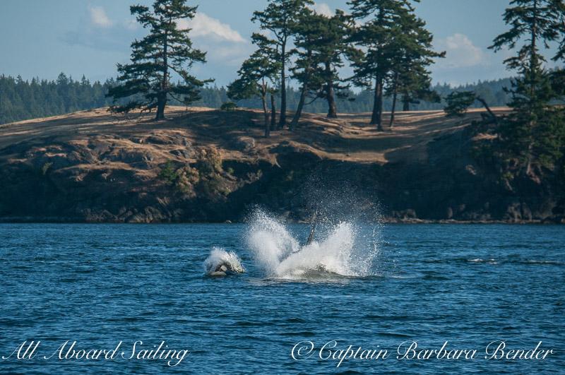 Transient Orcas  Harbor Porpoising after Porpoise