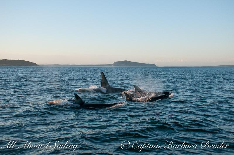 Transient OrcasTransient Orcas