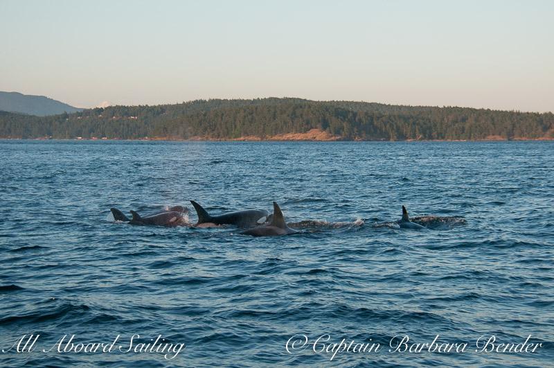 Transient Orcas