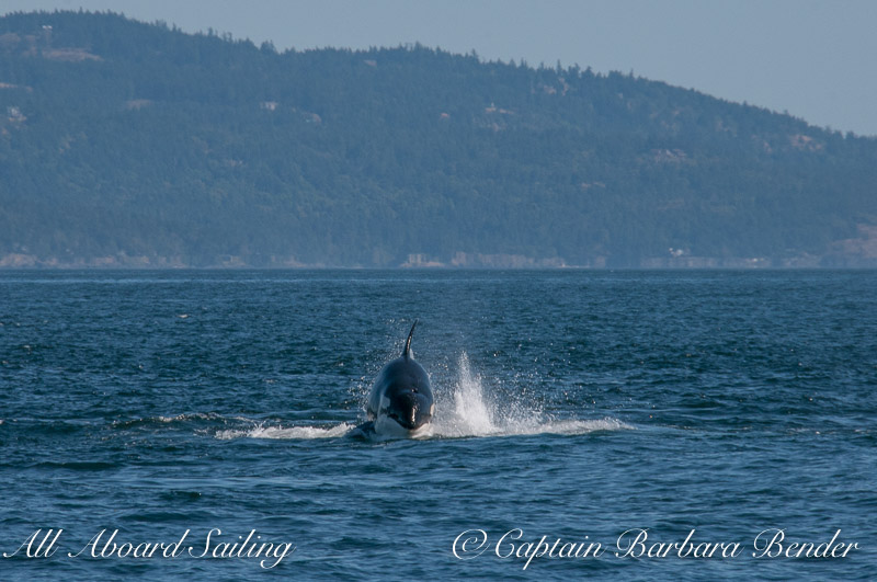 Whale watching Transient Orcas