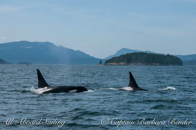 Transient Orcas T49C and T124C
