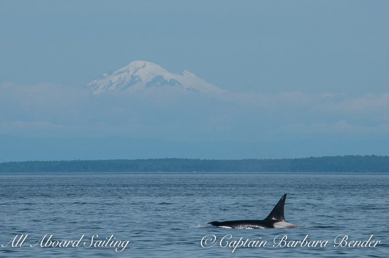 Transient orca T124C with cloud covered Mt Baker