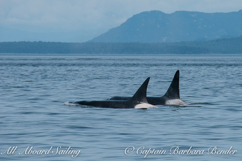 transient orcas, T124C and T49C