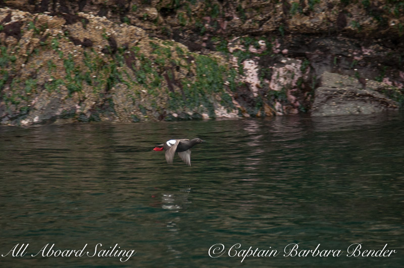 Pigeon Guillemot flying by