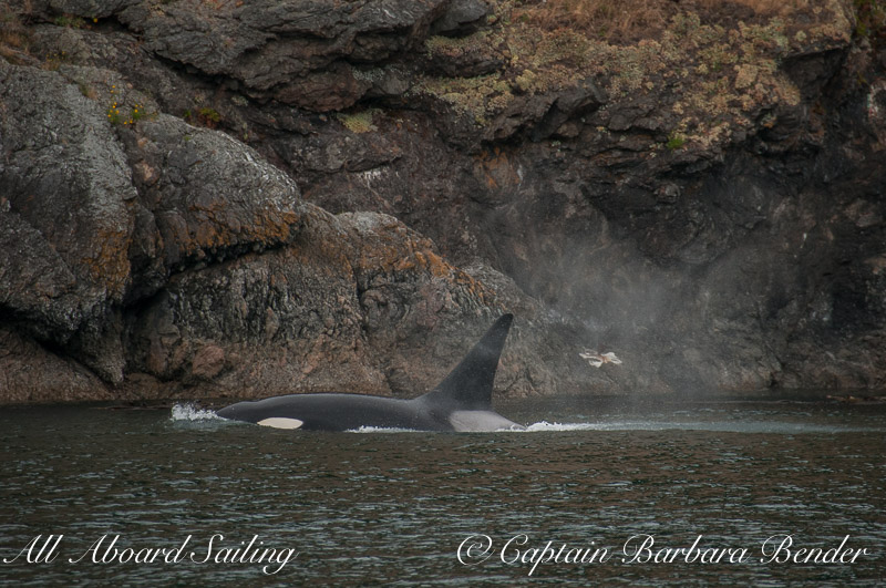 Transient Orca  T77B cruising by Kellett Bluff