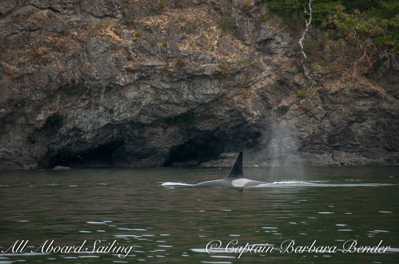 Transient Orca  T77B passing the caves on Henry Island