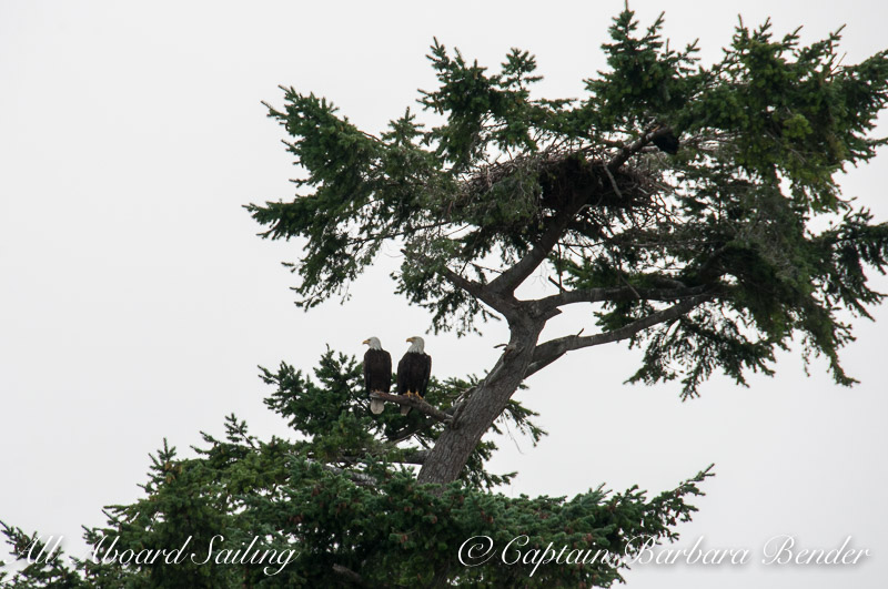 Bald Eagles and their nest