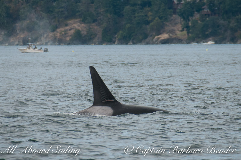 Whale watching Transient Orca Rake marks on dorsal fin of T77B