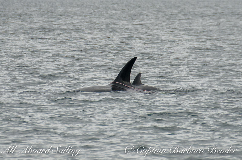 Whale watching Transient Orca Trailing intestines on dorsal fin
