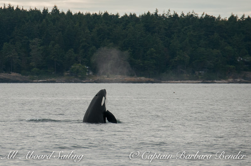 Whale watching Transient Orca Spyhop