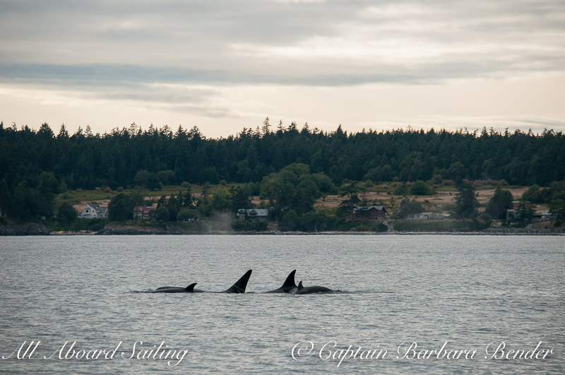 Whale watching Transient Orca