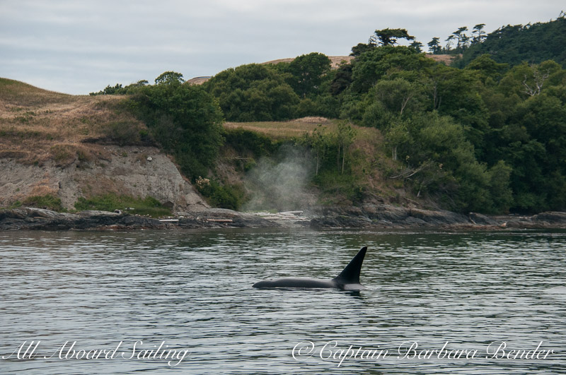 Whale watching Transient Orca T77B