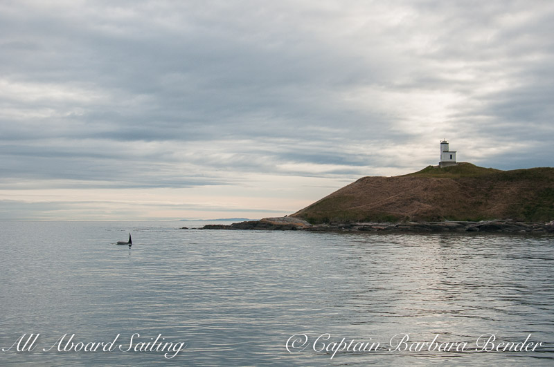 Whale watching Transient Orca T77B passes Cattle Point Lighthouse