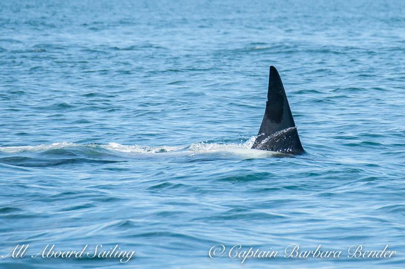 Transient orca, T124C