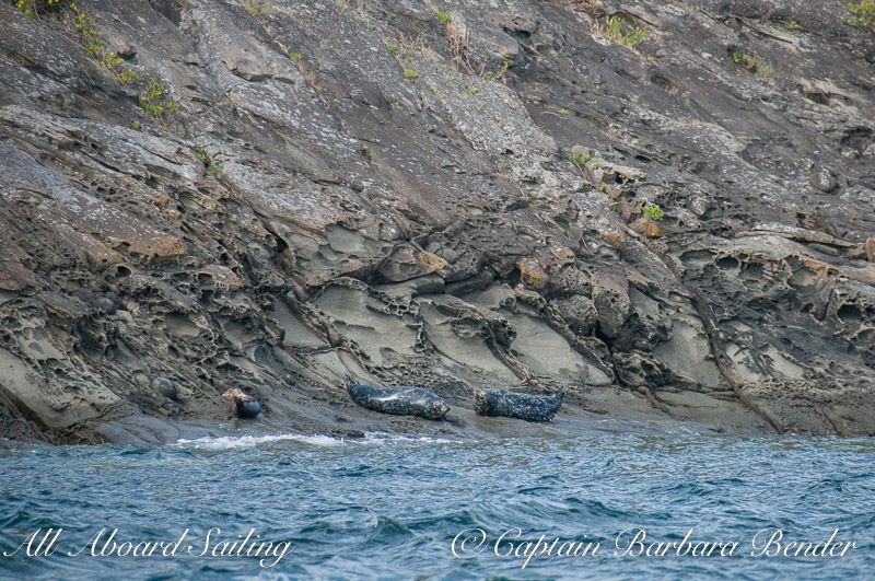 Harbor Seals Flattop Island National Wildlife Refuge