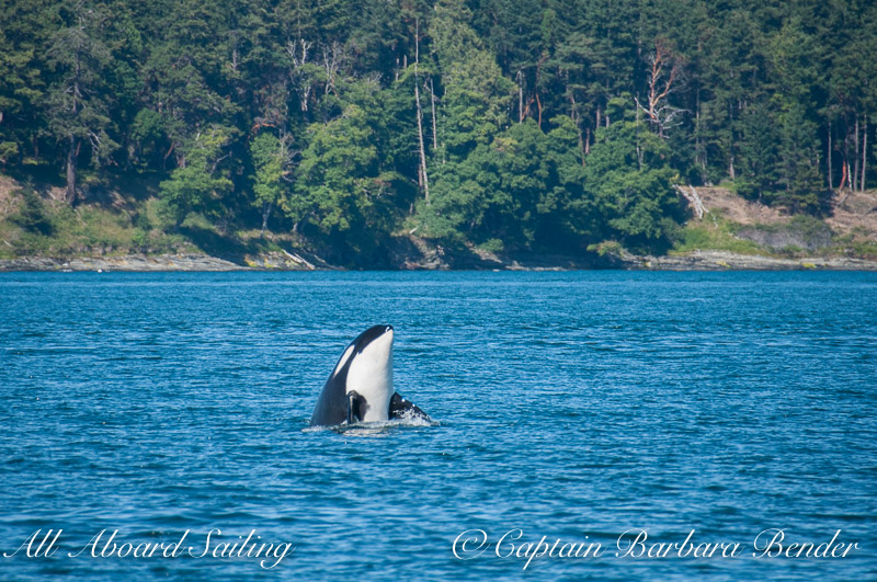 Whale watching Sailing with Southern Resident Killer Whales  - J19 Spy Hop