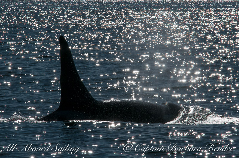 L87 Onyx Whale watching sailing own the San Juan Islands