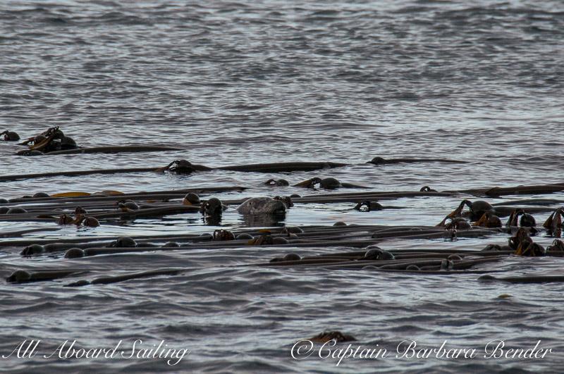 Harbor Seal asleep in the kelp
