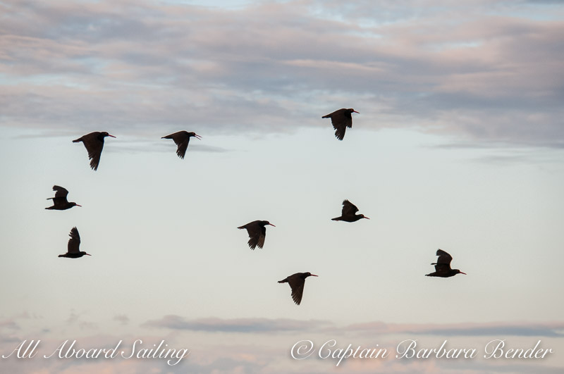 Black Oyster Catchers fly by