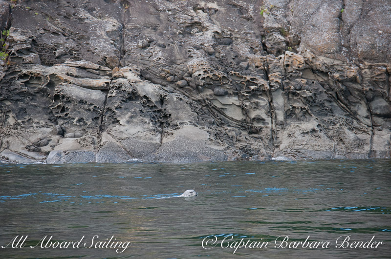 Harbor seal swimming beneath cliffs of honeycombed sandstone