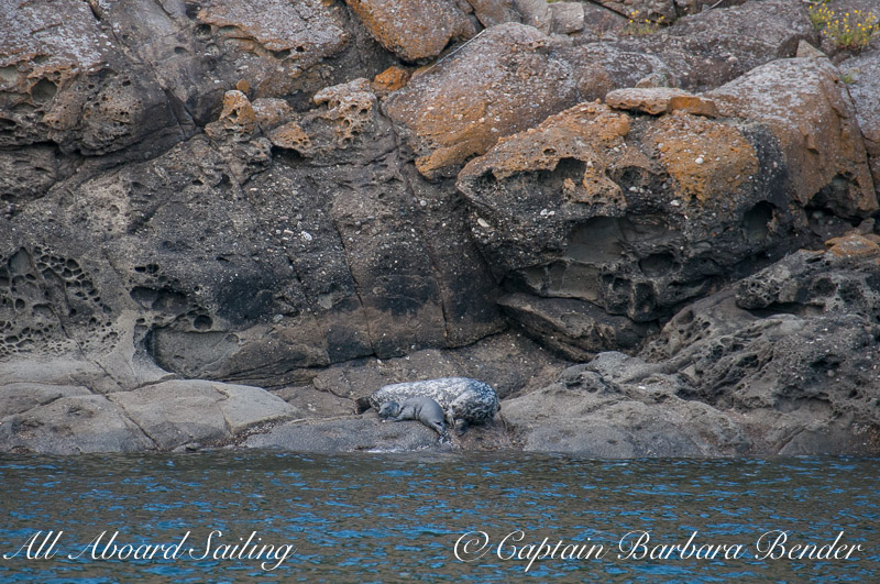 Harbor seal Mon and pup