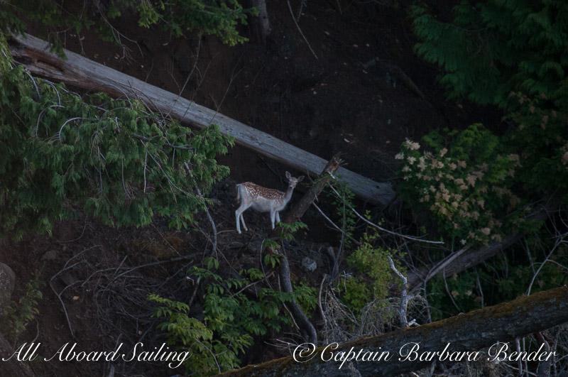 Fallow Deer Speiden Island