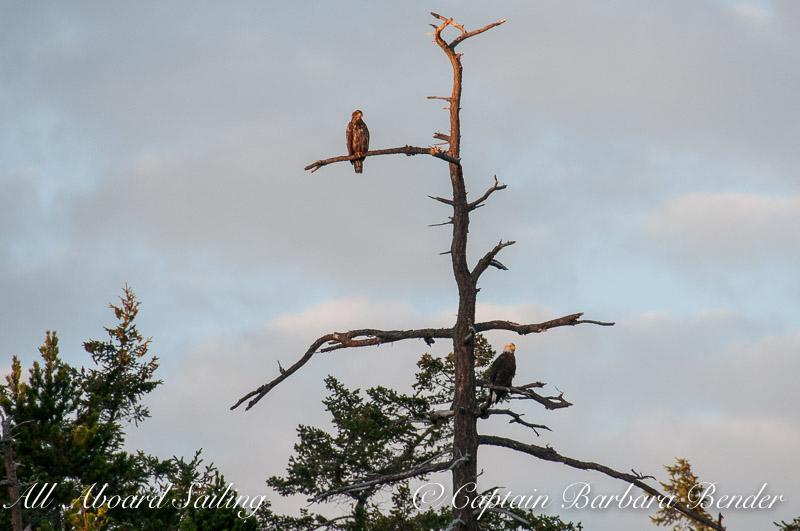 Immature and mature bald eagles