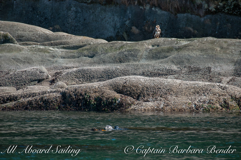 Eagles and Seals on Skipjack Island