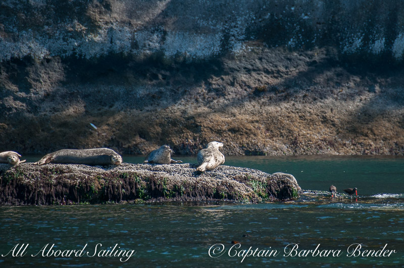 Harbor Seals Skipjack Island