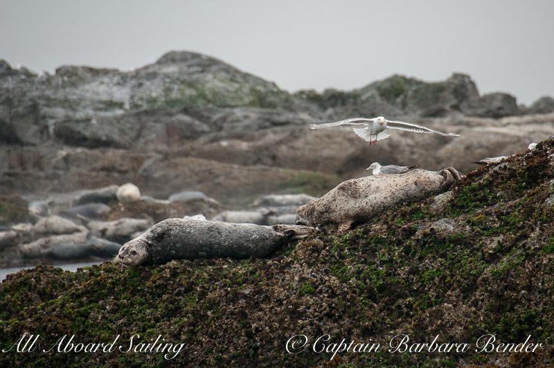 Harbor Seals and Gulls, Whale Rocks, San Juan islands