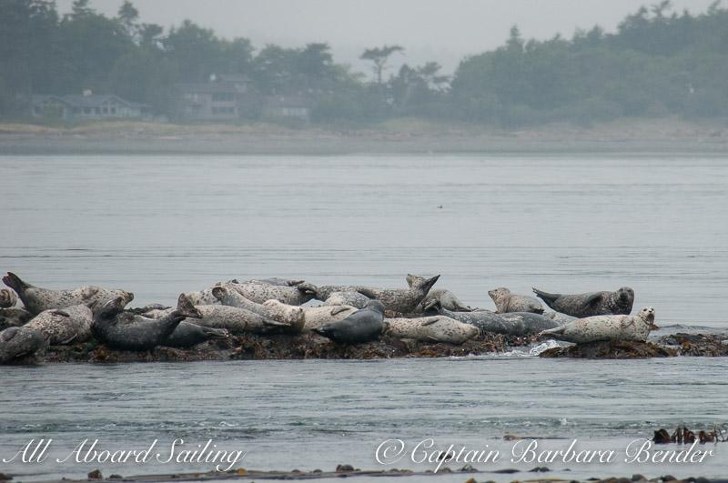 Harbor Seal Haul out, Whale Rocks, San Juan Islands