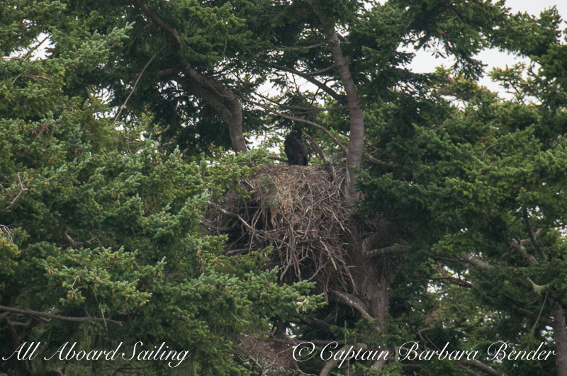 Eagle nest with young eagle