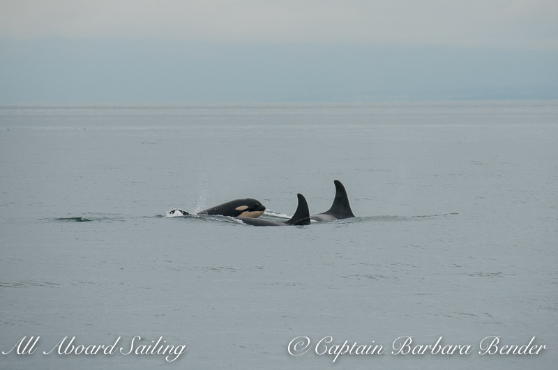 J19, J41, and J51 Southern Resident Killer Whales